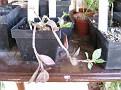 Monadenium montanum (12)