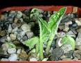 Acanthus mollis