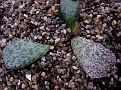 Adromischus bicolor Steitlerville CG168