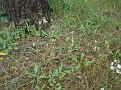 Ophrys oestrifera (9)