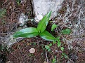 Himantoglossum robertianum (2)