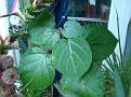 Matelea cyclophylla