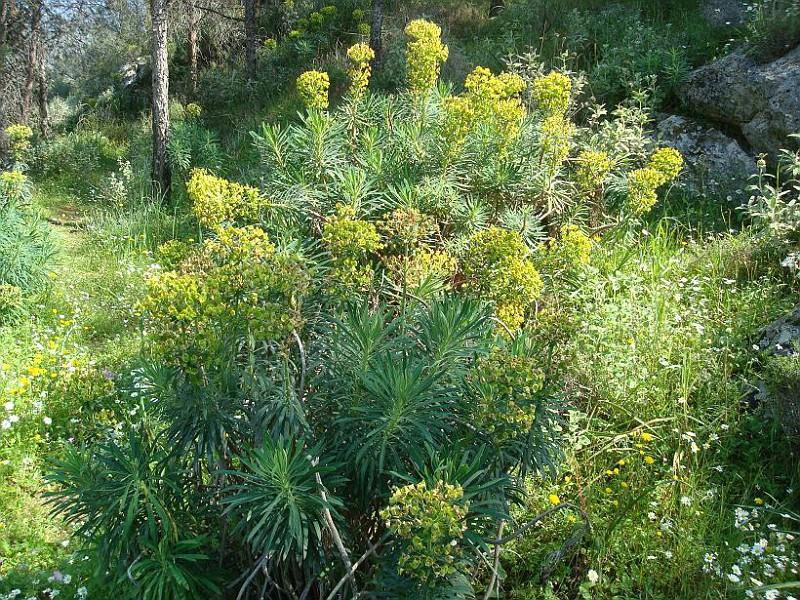 Euphorbia characias (1)
