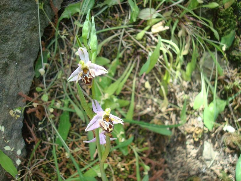 Ophrys sp 3