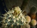 Ancistrocactus megarhizus