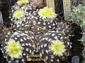 Copiapoa barquatensis