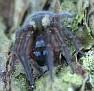 Amaurobius sp Female 10mm
