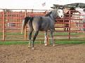 ALAKAZAAM BP (Farenhyte x AH Ambrozja by El Paso) 2004 grey mare
