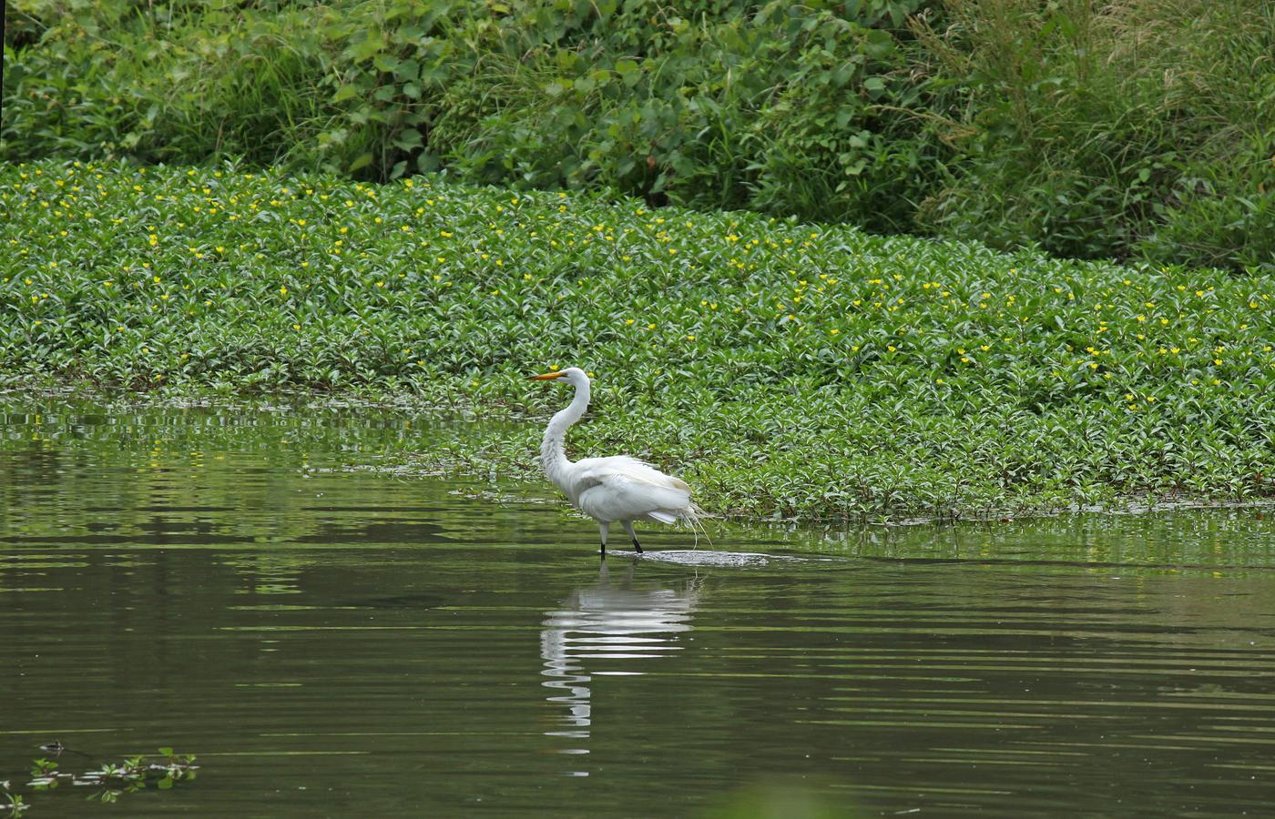 Great Egret #12