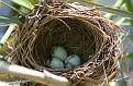 Cattail Nest Close Up