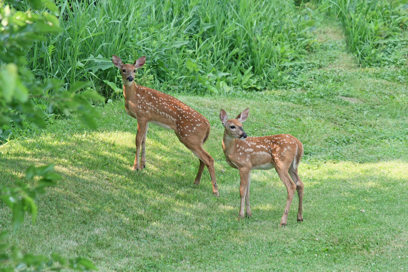 2014 Fawns #2