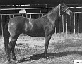 GAIA #8131 (Garaff x Flaia, by *Raffles) 1952 bay mare bred by Dr. and Mrs. Bill Munson; produced 1 registered purebred