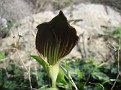 Arisarum (3)