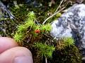 Eutrombidium rostratus  (2)