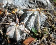 A  ornatum jonge planten
