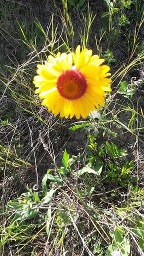 Brown-eyed Susan (Gaillarde aristee) - June 21 - Bowmont Park - JT