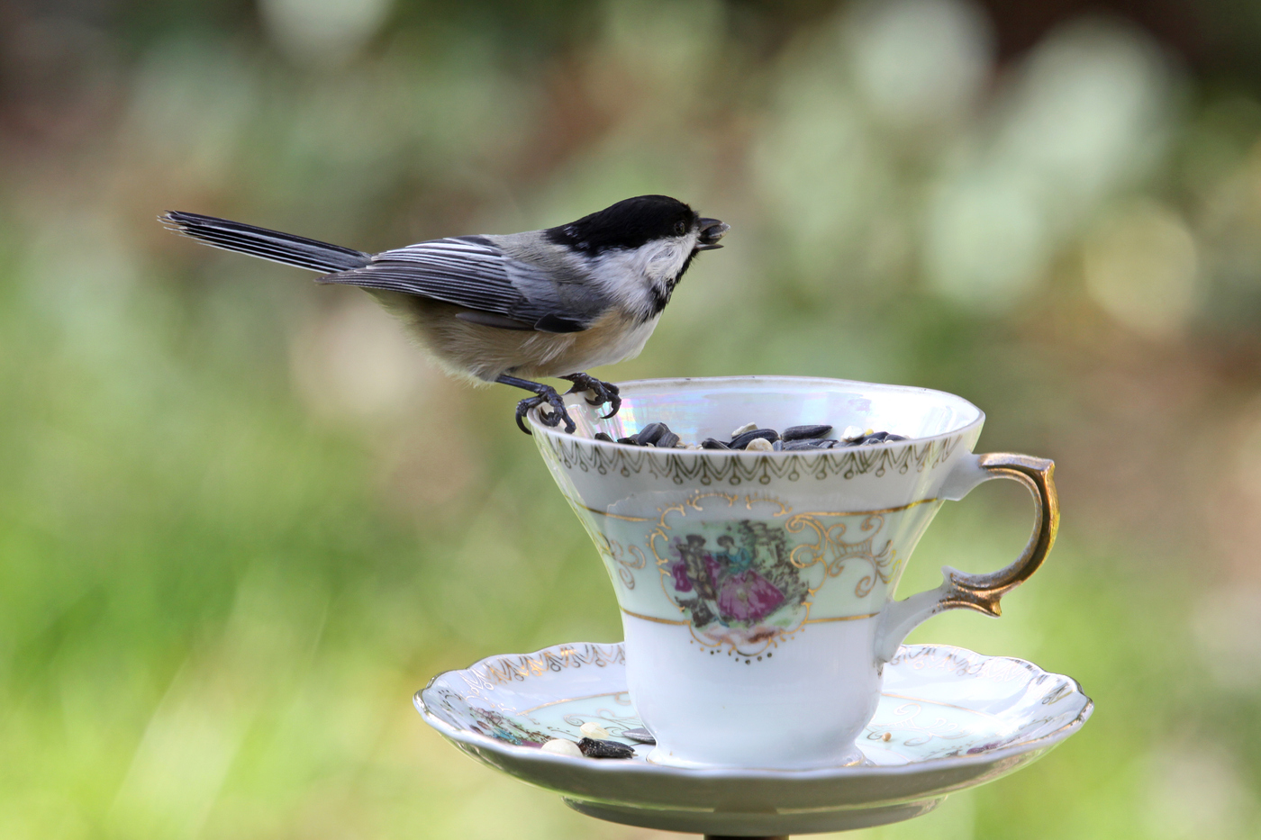 Chickadee at Teacup #17