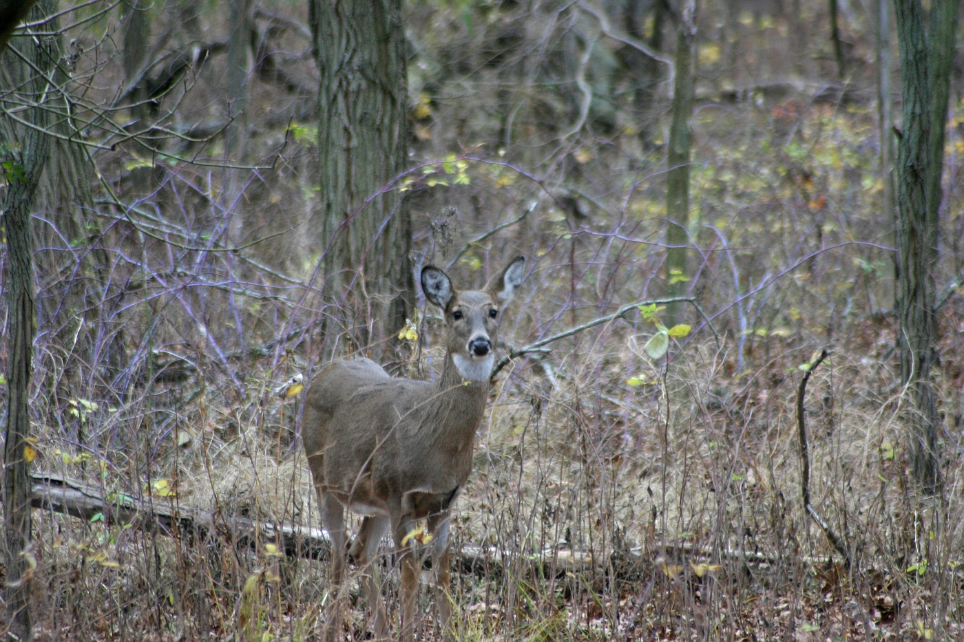 Fall Camouflaged White Tailed Doe