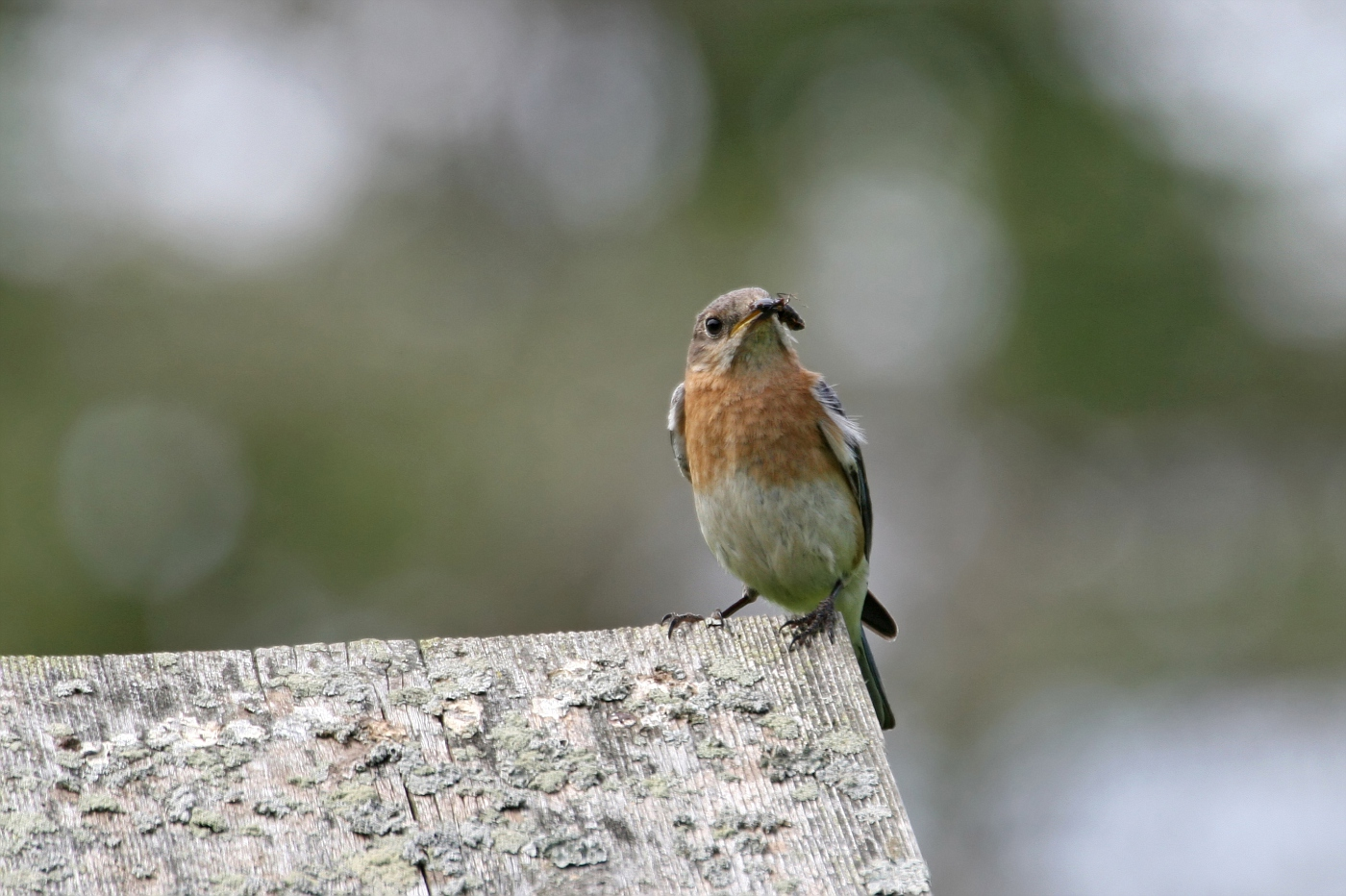 Female Bluebird #20