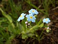 1251 Field Forget-me-not