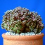 Turbinicarpus pseudomacrochele var. monstrosa