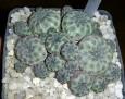 Rebutia pulchra (Sulcorebutia rauschii )