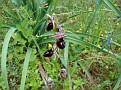 Ophrys ferrum equinum (12)