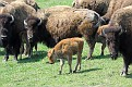 Bison and Calves #4