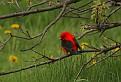 Scarlet Tanager #9