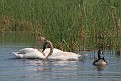 Trumpeter Swans #3