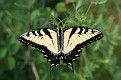 Female Eastern Tiger Swallowtail
