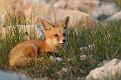 May Fox Series - 5/23 #17