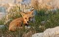 Red Fox Series - 5/23 #18