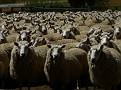 """Have we said, """"there are LOTS of sheep!"""""""
