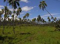 Lots of Coconut Trees