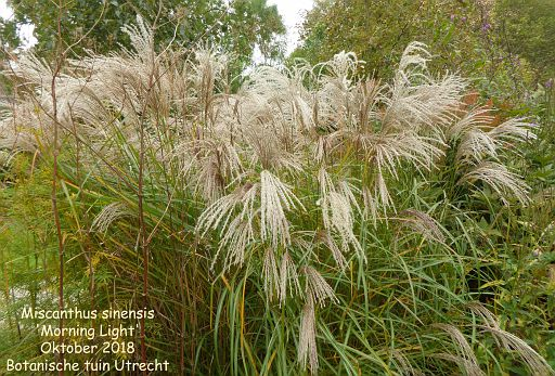 Miscanthus sinensis 'Morning Light'