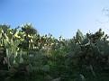 Opuntia (12)