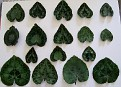 Cyclamen graecum leaf patterns 3