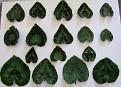 Cyclamen graecum leaf patterns 3