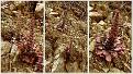 Sedum cyprium endemic