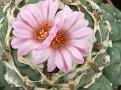 Lophophora jordaniana