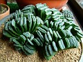 Haworthia truncata (4)