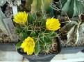 Mammillaria longimamma v uberiformis
