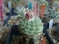 Strombocactus disciformis ssp esperanzae