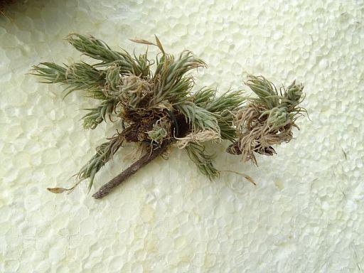 Aeonium canariensis