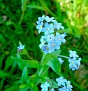 5121841-n-Water-forget-me-n