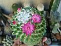 Mammillaria polythele f nuda