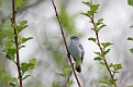 Blue Gray Gnatcatcher #15
