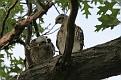 Hawk chicks #6
