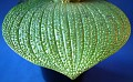 Massonia longipes (4)